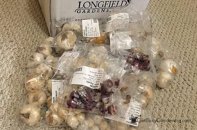 Longfield Gardens allium flower bulbs