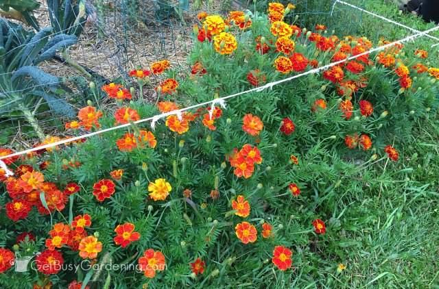Marigolds using Sustane natural fertilizer