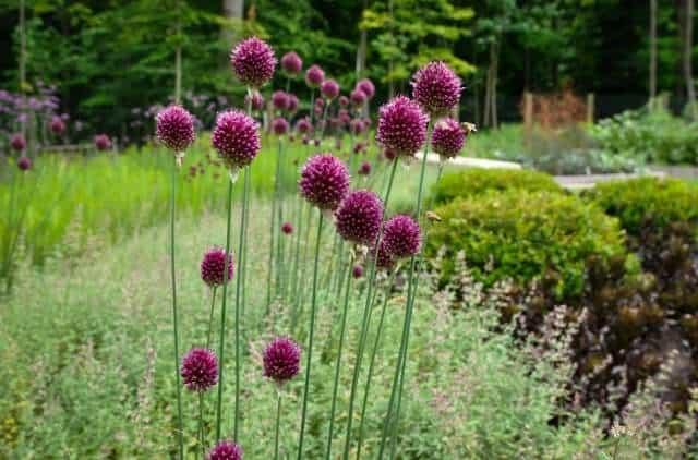 Purple sensation allium flower bulbs