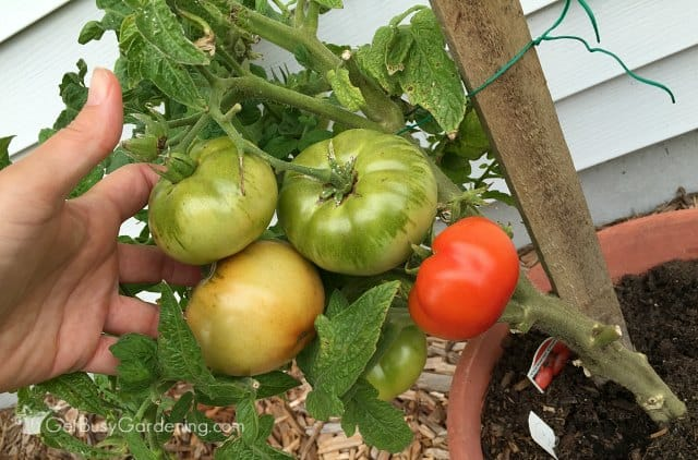 Tomatoes fertilized with healthy grow