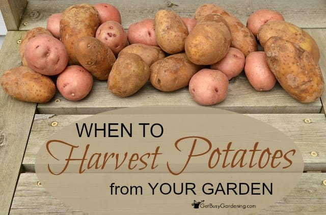 When To Harvest Potatoes From Your Garden