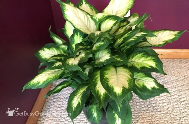 Dieffenbachia 'Camille' (Camilla) has near-white leaves with dark green edges