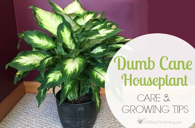 dumb cane houseplant care and growing tips
