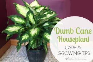 Dumb Cane Houseplant (Dieffenbachia) Care And Growing Tips