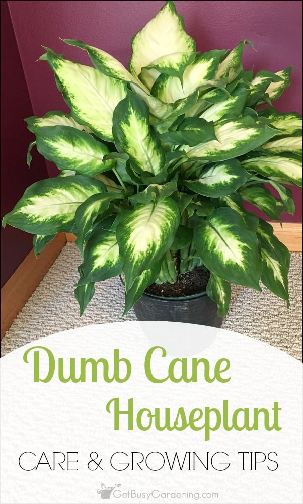 Dumb cane houseplant dieffenbachia care and growing tips for Easy to take care of houseplants