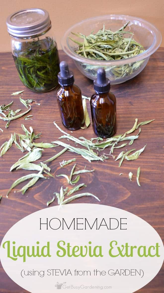 Homemade liquid stevia extract is super easy to make, and you only need two ingredients. You can even use the stevia you grew in your garden!