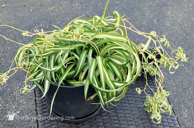 Spider plants are easy to propagate