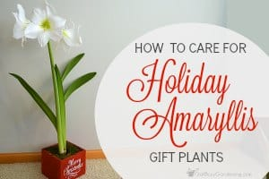 How To Care For Holiday Amaryllis Gift Plants