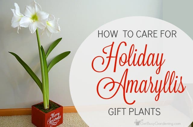 Amaryllis Flower Care: How To Care For Holiday Amaryllis Gift Plants