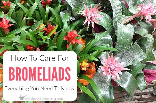 Everything You Need To Know About How To Care For Bromeliads