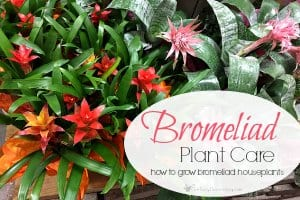 How To Grow Bromeliad Houseplants