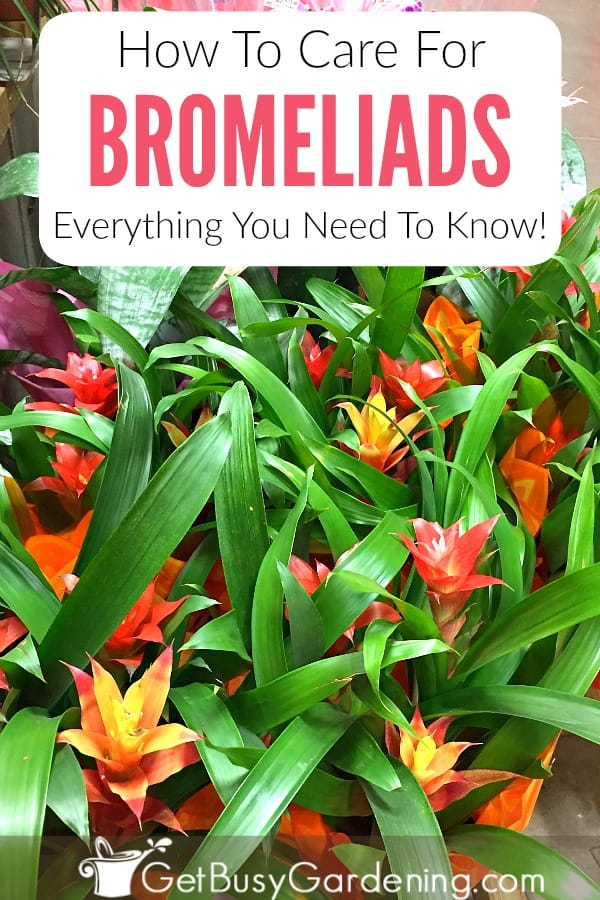 Bromeliads are epiphytic plants that grow on trees or logs instead of in soil. If you're new to growing bromeliads, bromeliad plant care is much different than other plants. Learn everything you need to know about how to grow bromeliads including watering, lighting, fertilizer, soil, and more in this in-depth guide.