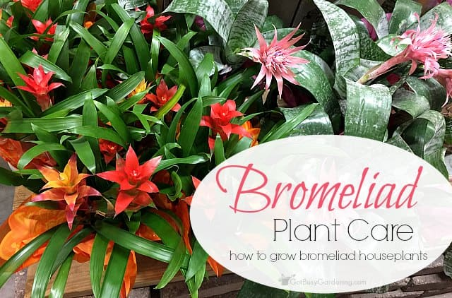 Bromeliad plant care: How To Grow Bromeliad Houseplants
