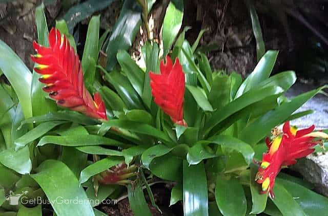 Bromeliad red houseplant