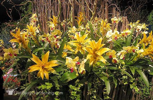 Gorgeous yellow bromeliads