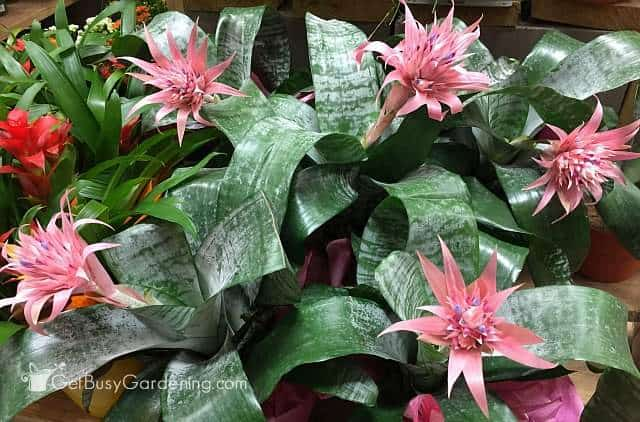 How to take care of a bromeliad