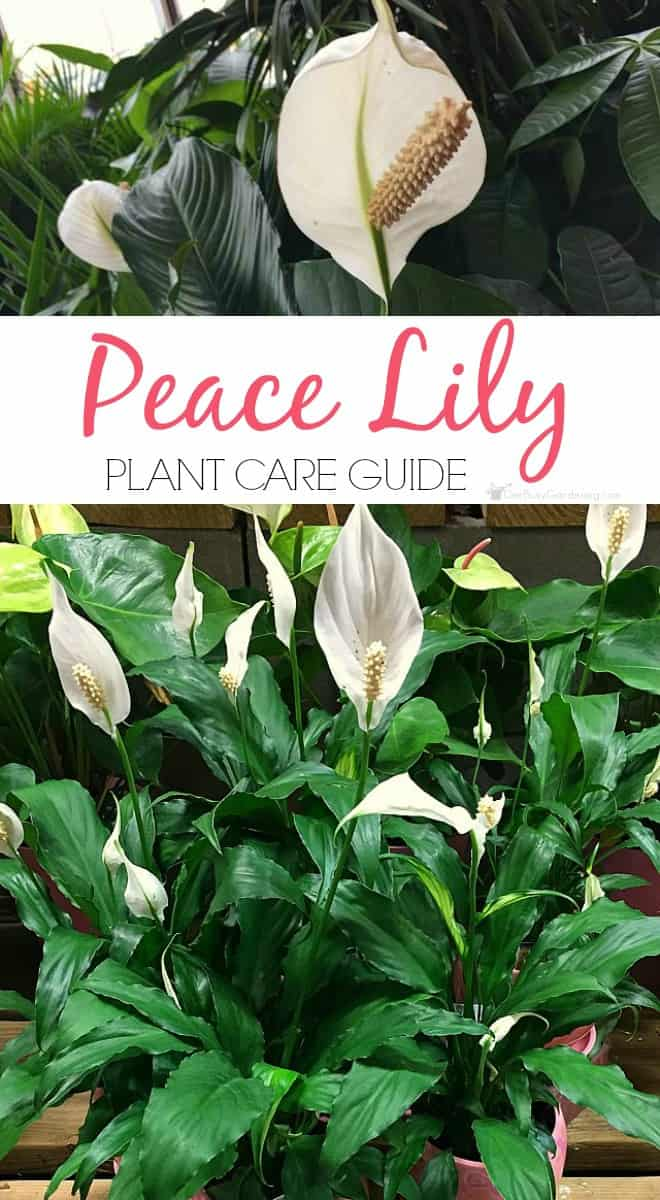 Peace lilies are easy to grow houseplants that thrive indoors. Follow these simple peace lily plant care tips to keep your plant thriving year round.