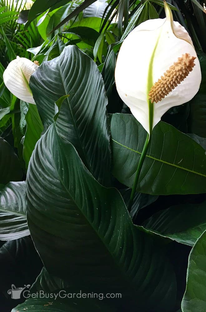 A large peace lily floor plant with gorgeous flowers