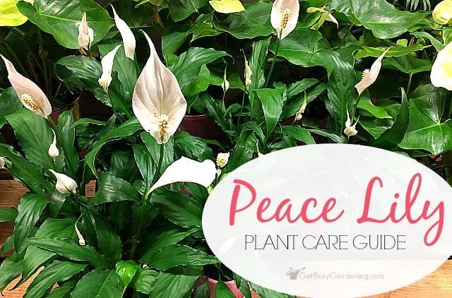 Peace lily plant care guide