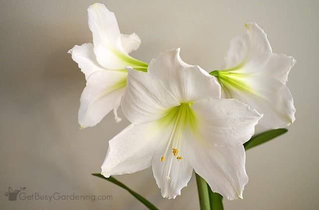Huge and beautiful white amaryllis flowers
