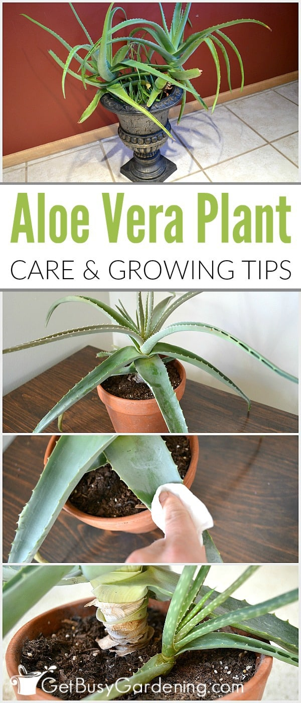 Aloe vera is a beneficial plant that's best known for the healing qualities of the gel. Given the proper aloe vera plant care, they can live for many years.