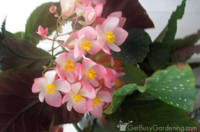 Angel wing begonia flower