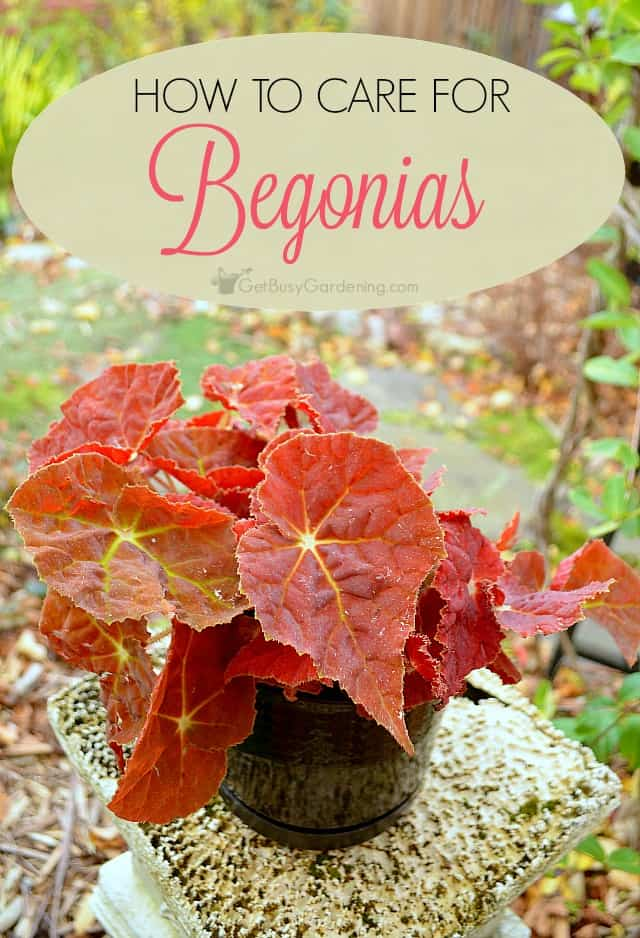 Begonias make great houseplants that can bloom year round. You'll find that indoor begonia plant care is similar to many houseplants you're already growing.