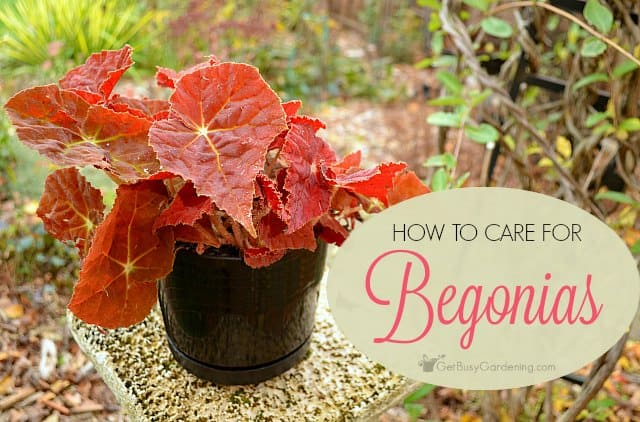 Begonia Plant Care Tips: How To Care For Begonias Indoors