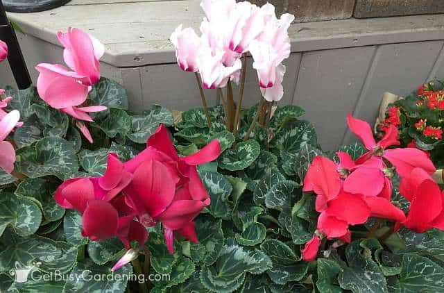 Cyclamen houseplant flowering