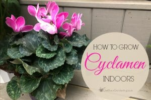 How To Care For Cyclamen Plants Indoors