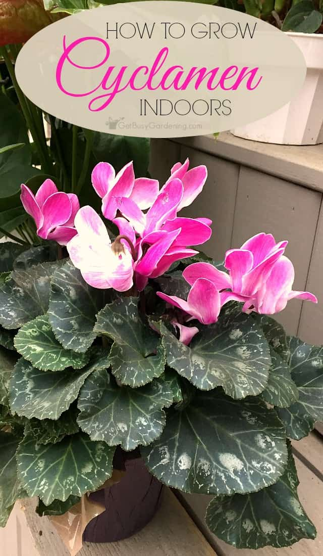 Cyclamen are popular holiday gift plants that most people end up throwing out! Keep them growing and blooming for years with these cyclamen plant care tips.