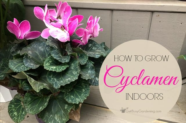 Cyclamen Plant Care: How To Care For Cyclamen Plant Indoors