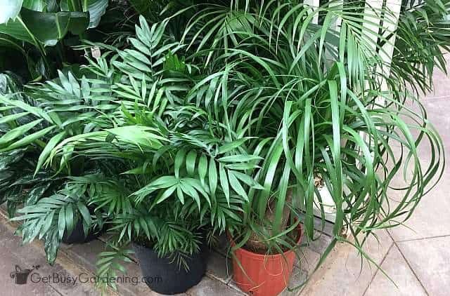 Diffe Palm Plants For