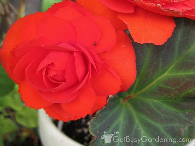 Gorgeous red begonia flowers