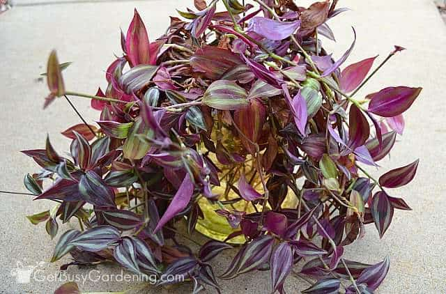 Growing wandering jew plant in water