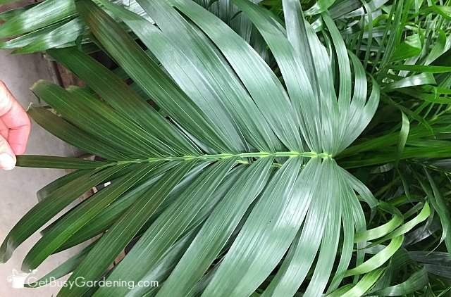 Healthy palm plant leaf