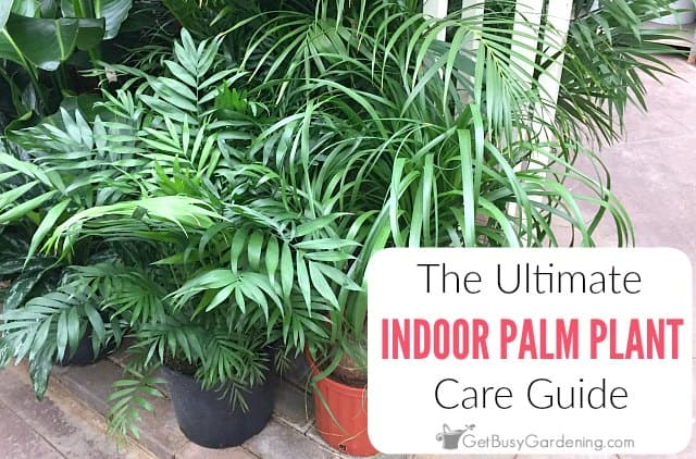 How To Care For Palm Trees Indoors: The Ultimate Palm Plant ... Big Leaf House Palm Tree Plant Images on