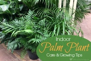How To Care For Indoor Palm Trees And Plants