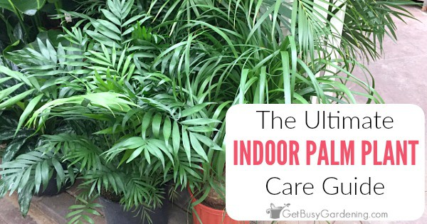 How To Care For Palm Trees Indoors: The Ultimate Palm Plant