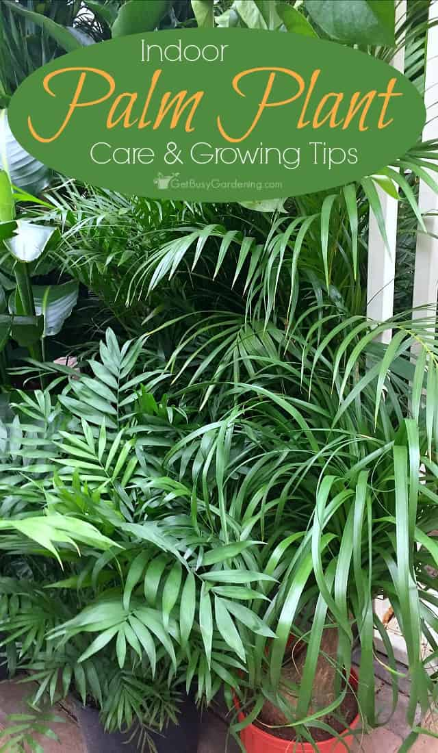 Indoor palm plant care how to care for indoor palm trees for Easy to take care of indoor plants