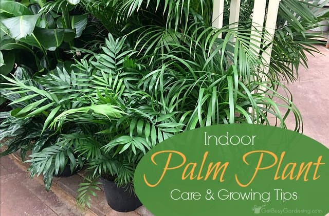 Indoor palm plant care