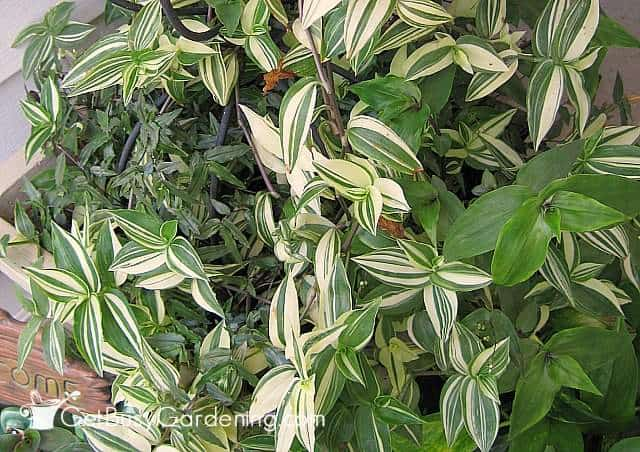 Mixed planter of wandering jew varieties