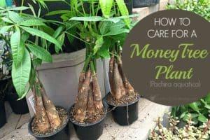 How To Take Care Of A Money Tree Plant (Pachira aquatica)