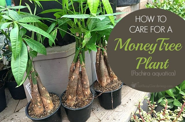 Money Plant Care: How To Take Care Of A Money Tree Plant