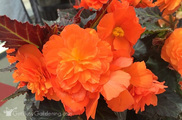 Orange begonia Nonstop 'Mocca'