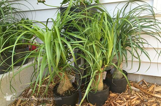 Ponytail plant care