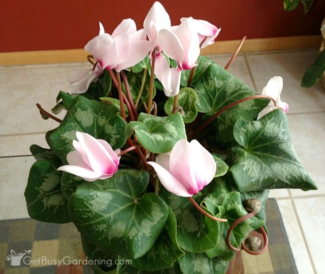 Potted cyclamen houseplant