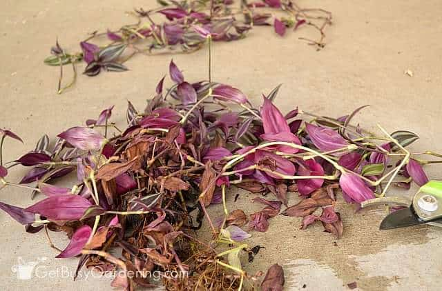 Pruning wandering jew plants