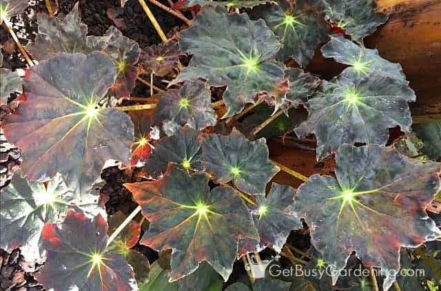 Stunning foliage on begonia plants indoor