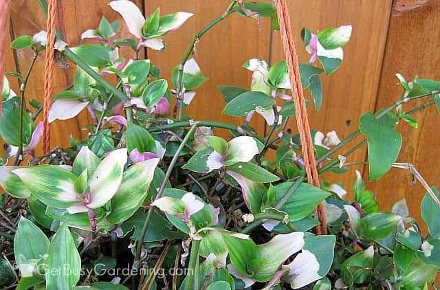 Tricolor wandering jew plant